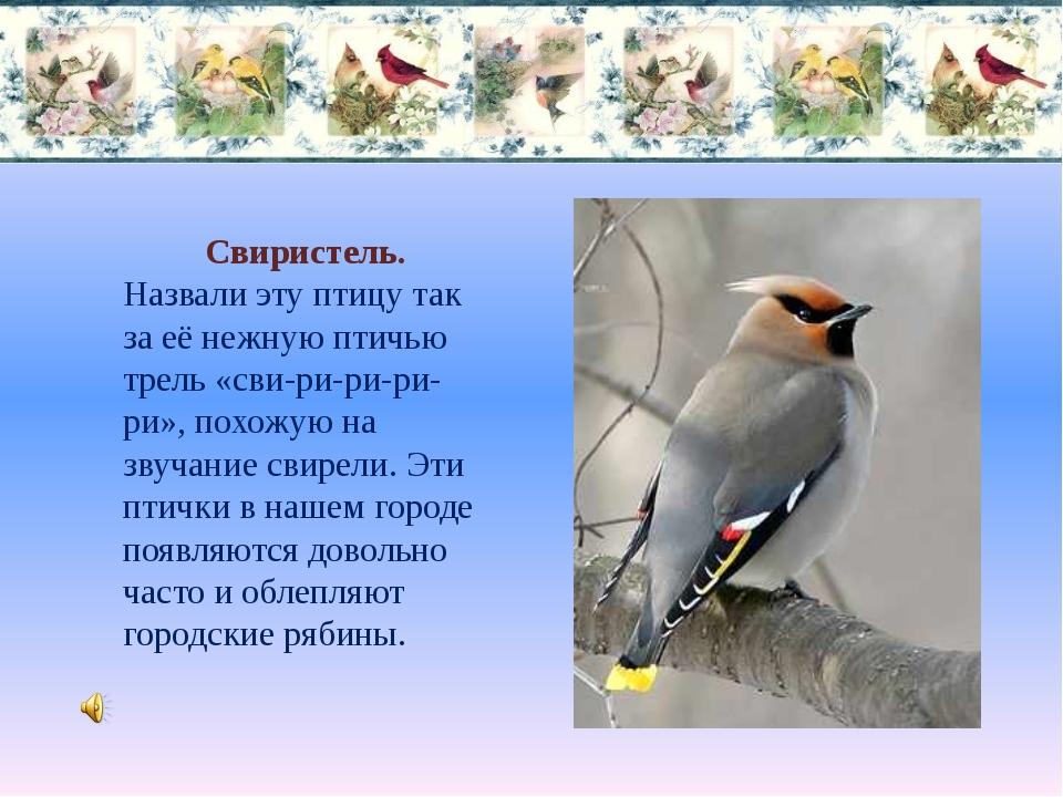 Свиристель. Назвали эту птицу так за её нежную птичью трель «сви-ри-ри-ри-ри»...