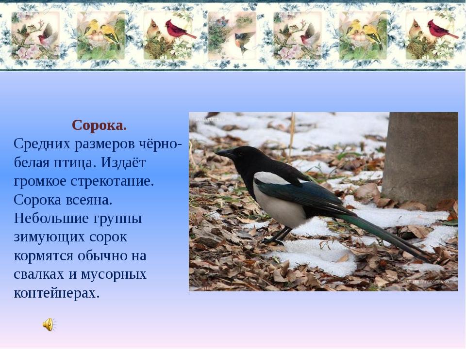 Сорока. Средних размеров чёрно-белая птица. Издаёт громкое стрекотание. Сорок...