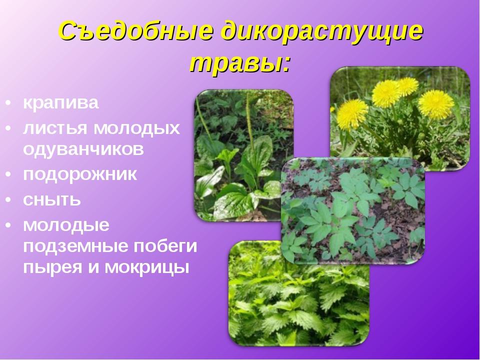 Съедобные дикорастущие травы: крапива листья молодых одуванчиков подорожник с...