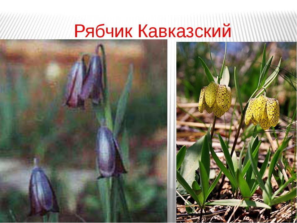 Рябчик Кавказский