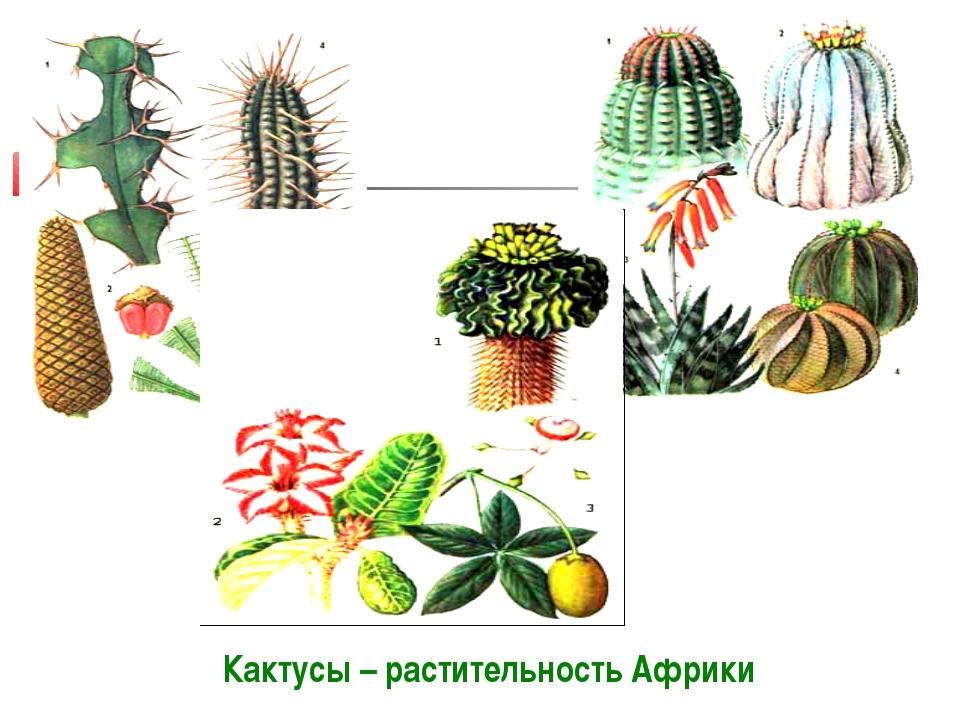 Кактусы – растительность Африки