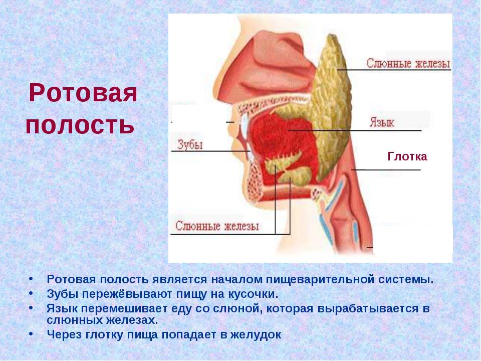 Ротовая полость Ротовая полость является началом пищеварительной системы. Зуб...