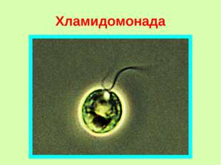 Хламидомонада