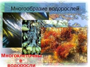 * Многообразие водорослей Многоклеточные водоросли