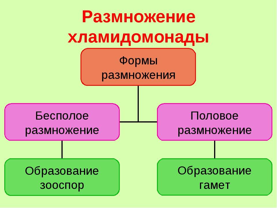 Размножение хламидомонады