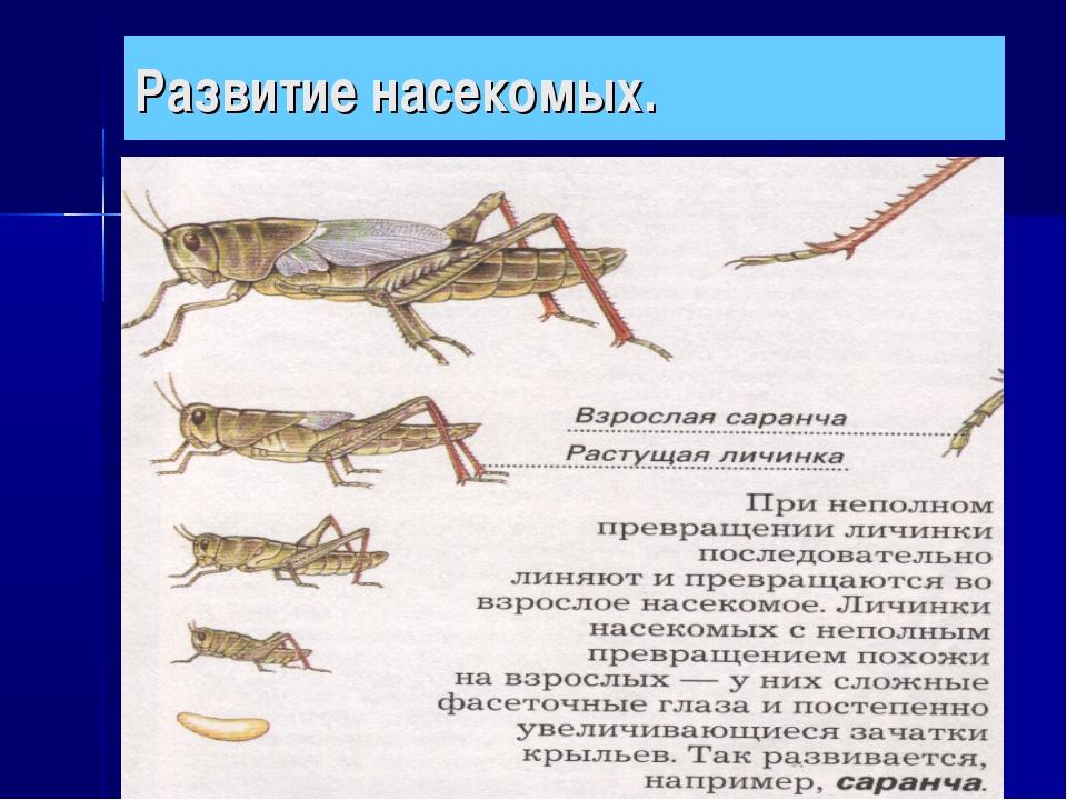 Развитие насекомых.