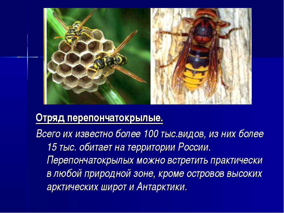 Отряд перепончатокрылые. Всего их известно более 100 тыс.видов, из них более...