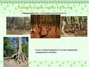 Удивительные сосны в России «Танцующий лес» в Калининградской области Сосна ,