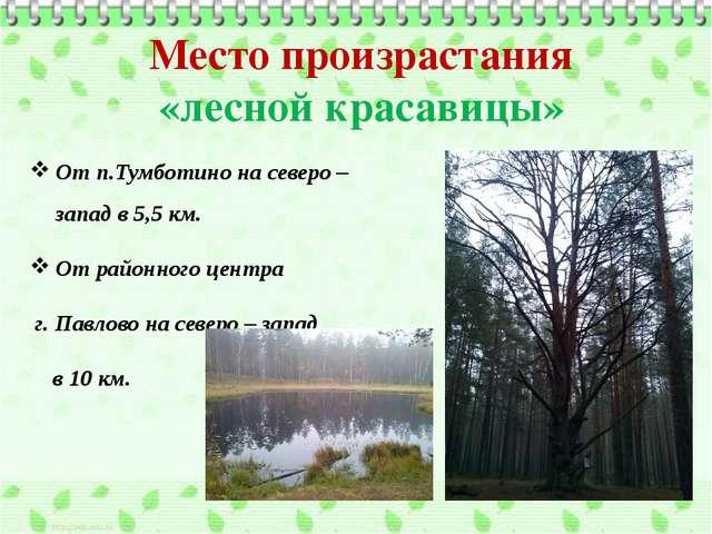 Место произрастания «лесной красавицы» От п.Тумботино на северо – запад в 5,5...