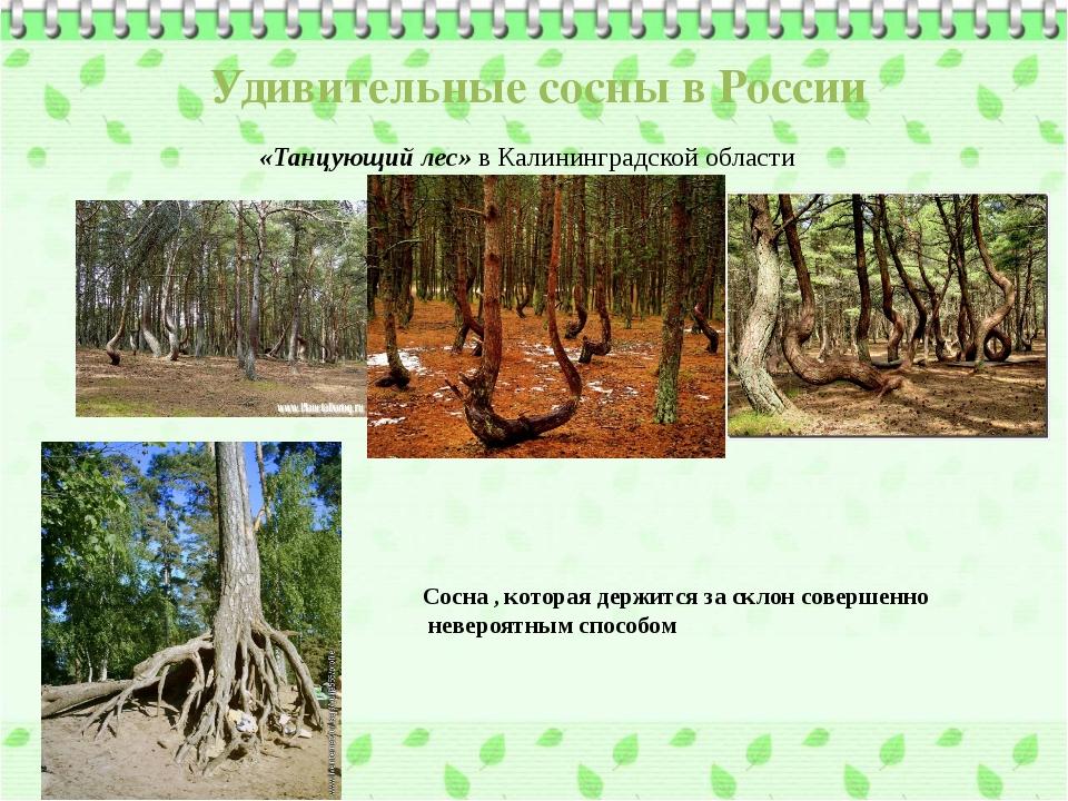 Удивительные сосны в России «Танцующий лес» в Калининградской области Сосна ,...