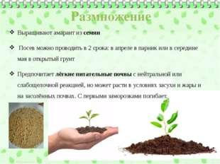 Выращивают амарант из семян Посев можно проводить в 2 срока: в апреле в парни