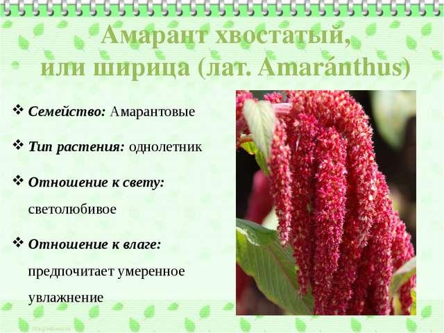 Амарант хвостатый, илиширица(лат.Amaránthus) Семейство: Амарантовые Тип ра...