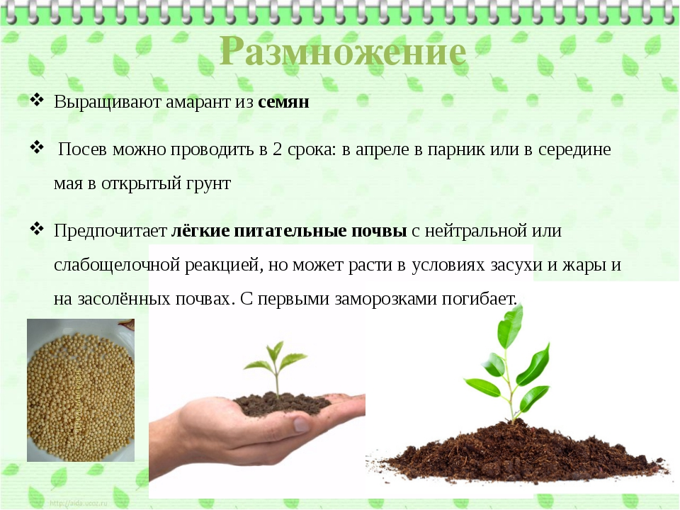 Выращивают амарант из семян Посев можно проводить в 2 срока: в апреле в парни...