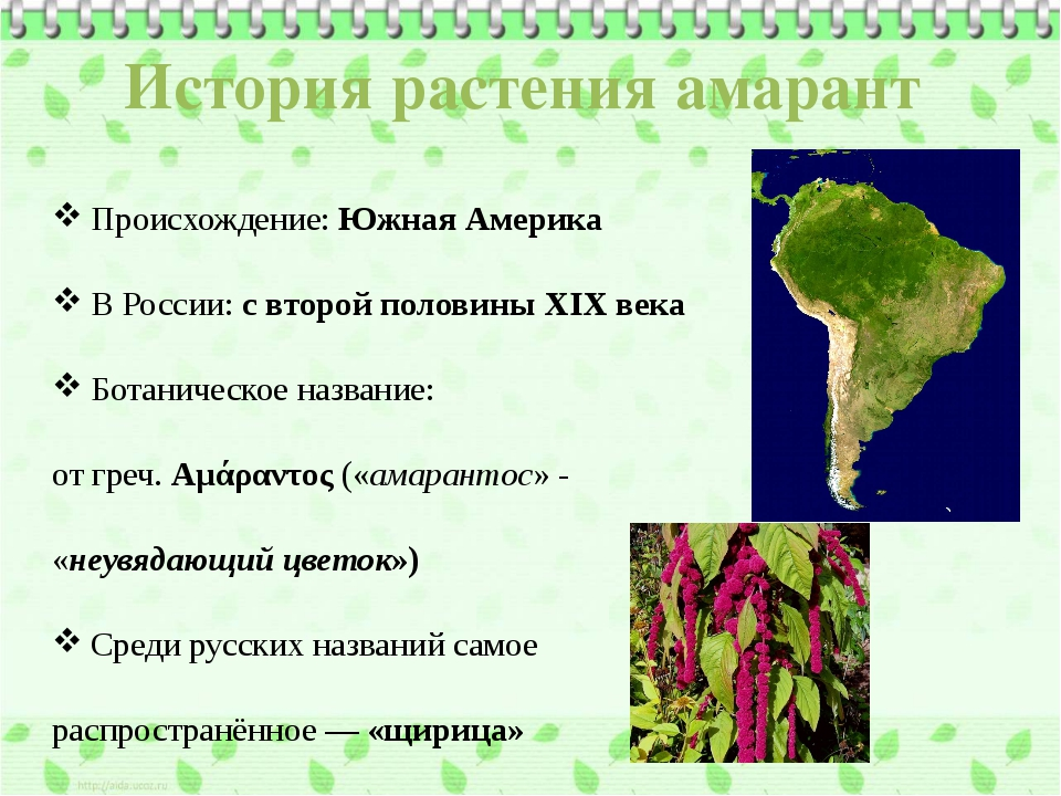 История растения амарант Происхождение: Южная Америка В России: с второй поло...