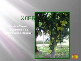 ХЛЕБНОЕ ДЕРЕВО Растёт в Индии, Индонезии и на тропических островах.