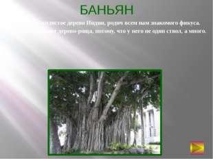 БАНЬЯН Самое раскидистое дерево Индии, родич всем нам знакомого фикуса. Его