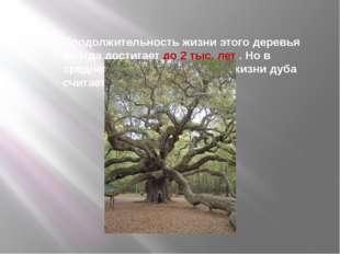 Продолжительность жизни этого деревья иногда достигает до 2 тыс. лет . Но в с