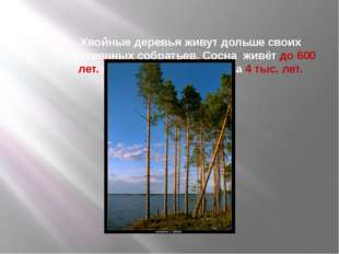 Хвойные деревья живут дольше своих лиственных собратьев. Сосна живёт до 600 л
