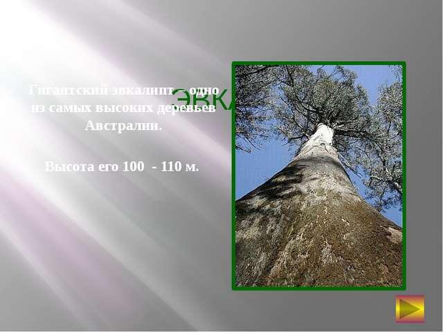 ЭВКАЛИПТ Гигантский эвкалипт – одно из самых высоких деревьев Австралии. Высо...