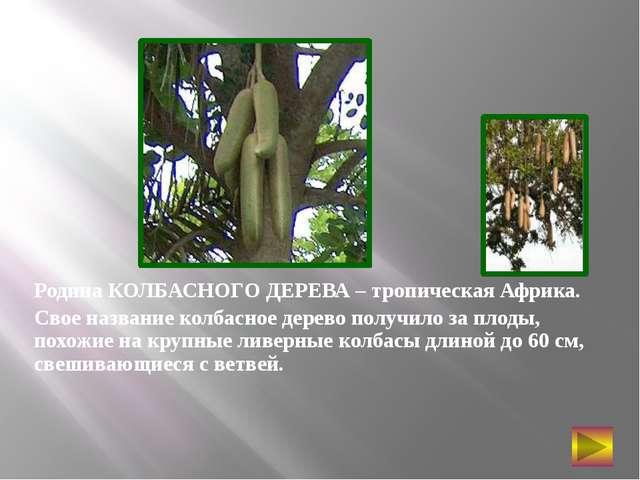 Родина КОЛБАСНОГО ДЕРЕВА – тропическая Африка. Свое название колбасное дерев...