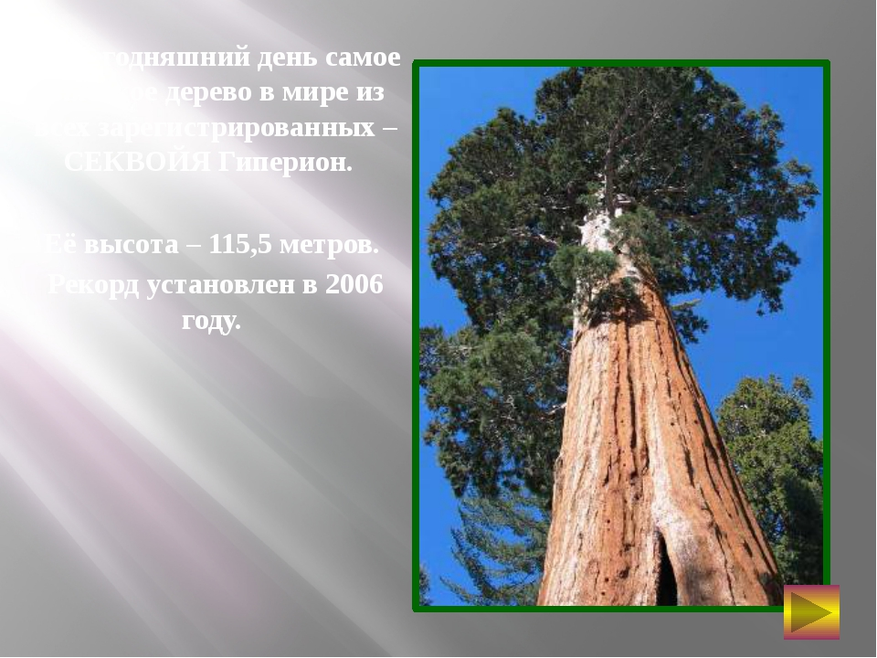 На сегодняшний день самое высокое дерево в мире из всех зарегистрированных –...