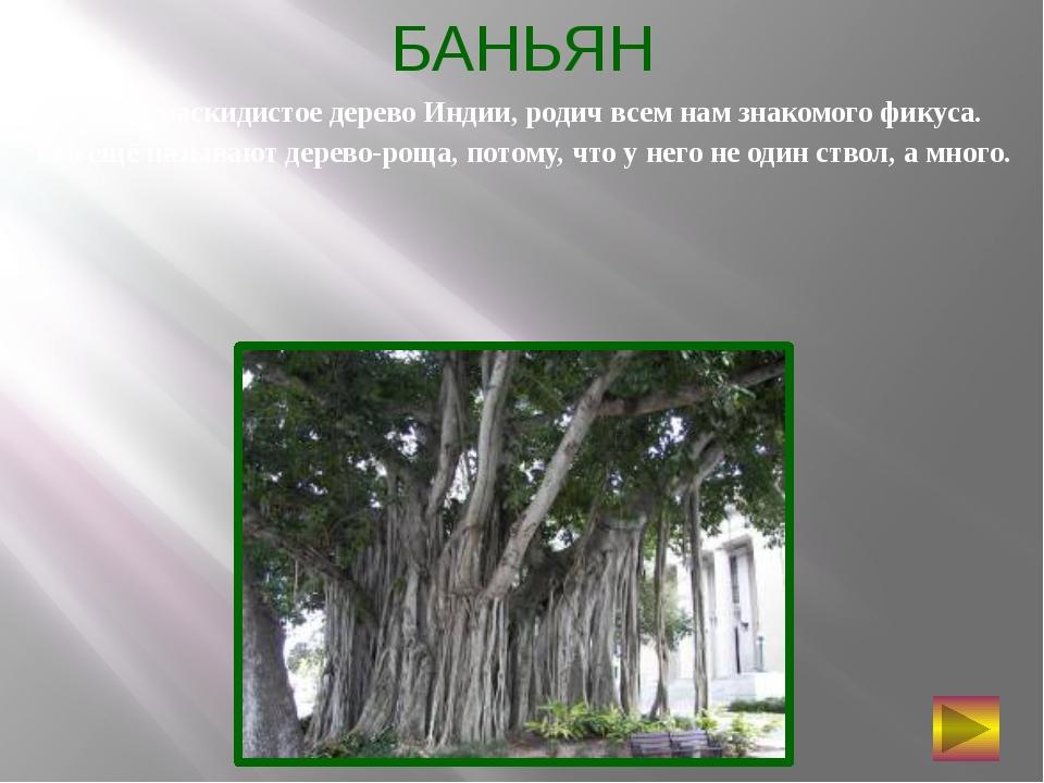 БАНЬЯН Самое раскидистое дерево Индии, родич всем нам знакомого фикуса. Его...