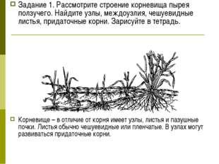 Задание 1. Рассмотрите строение корневища пырея ползучего. Найдите узлы, межд