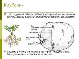 Клубень - - это подземный побег со стеблевой утолщенной частью, имеющий округ