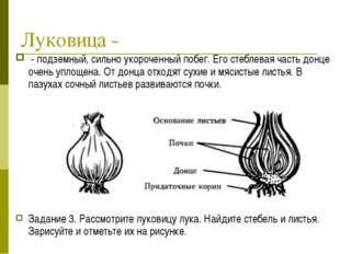 Луковица - - подземный, сильно укороченный побег. Его стеблевая часть донце о