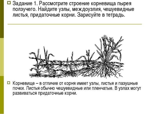 Задание 1. Рассмотрите строение корневища пырея ползучего. Найдите узлы, межд...