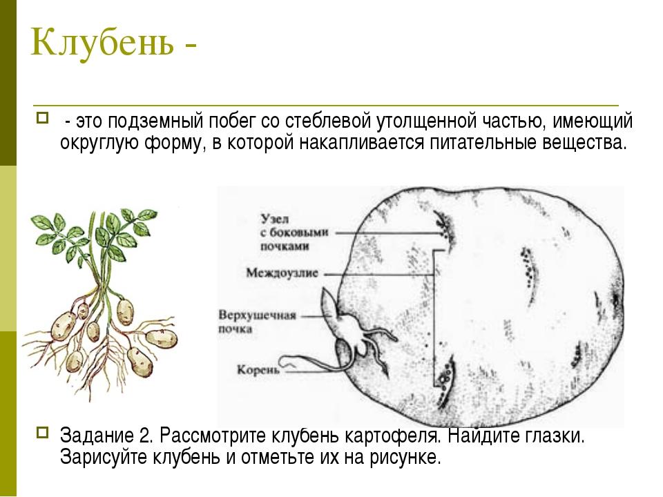 Клубень - - это подземный побег со стеблевой утолщенной частью, имеющий округ...