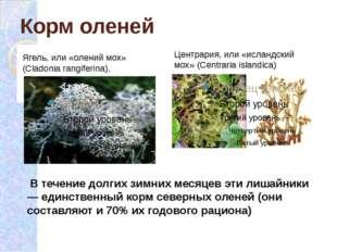 Корм оленей Ягель, или «олений мох» (Cladonia rangiferina),  Центрария, или