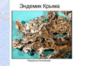 Эндемик Крыма Рамалина Понтийская