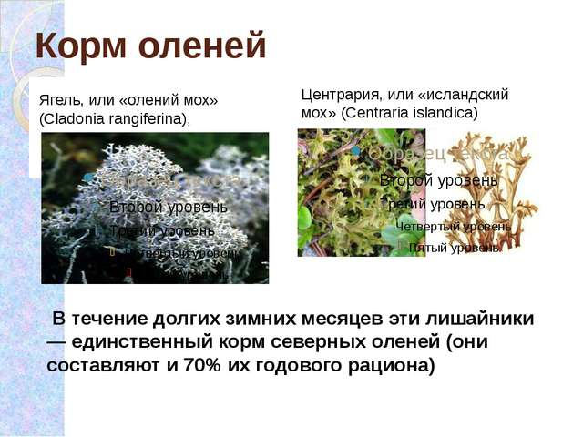 Корм оленей Ягель, или «олений мох» (Cladonia rangiferina),  Центрария, или...