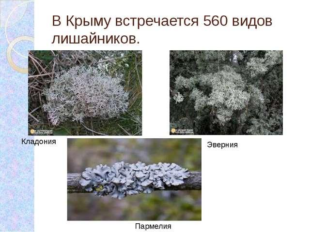 В Крыму встречается 560 видов лишайников. Кладония Эверния Пармелия