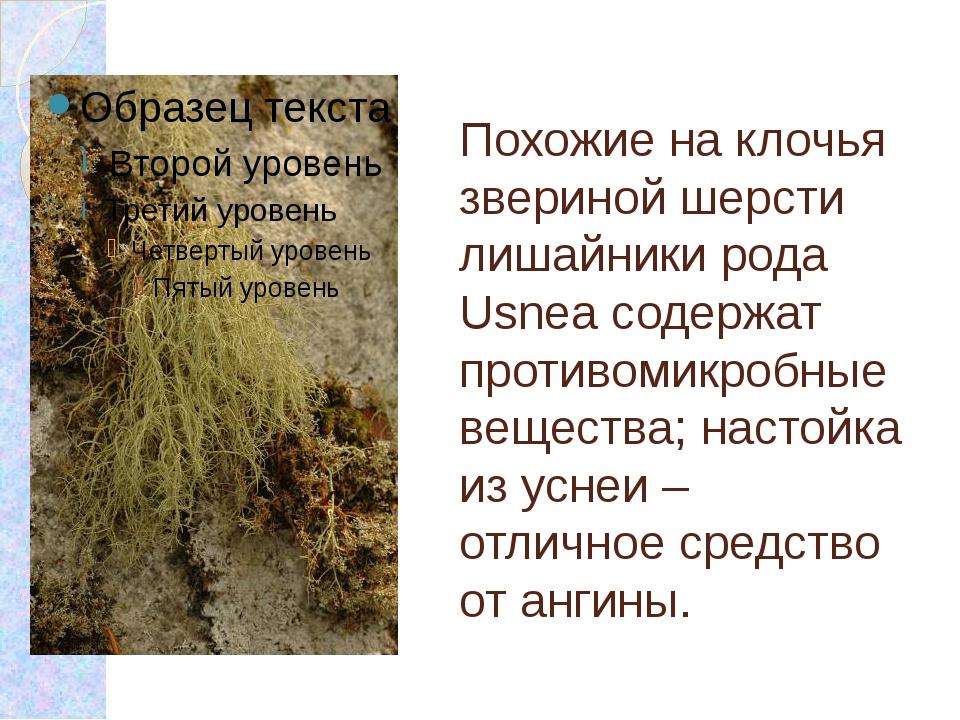 Похожие на клочья звериной шерсти лишайники рода Usnea содержат противомикроб...