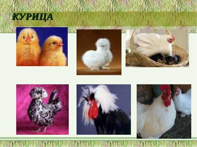 Презентация по биологий на тему домашние птицы