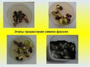 Фасоль Этапы прорастания семени фасоли