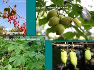 барбарис манчжурский орех манчжурский элеутерококк колючий актиния(кишмыш)