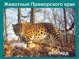 Животные Приморского края Амурский тигр Дальневосточный лесной кот Рысь Пятни