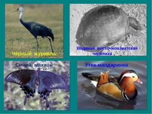 Водяная восточноазиатская черепаха Синий махаон Утка-мандаринка Чёрный журавль