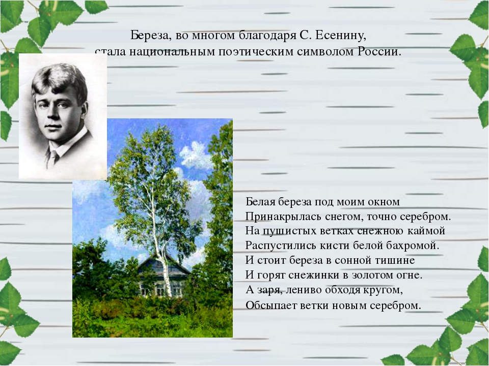 Береза, во многом благодаря С. Есенину, стала национальным поэтическим символ...