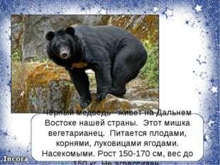 Чёрный медведь- живет на Дальнем Востоке нашей страны. Этот мишка вегетариане