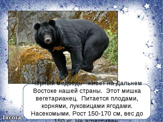 Чёрный медведь- живет на Дальнем Востоке нашей страны. Этот мишка вегетариане...