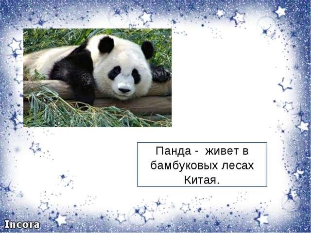 Панда - живет в бамбуковых лесах Китая.