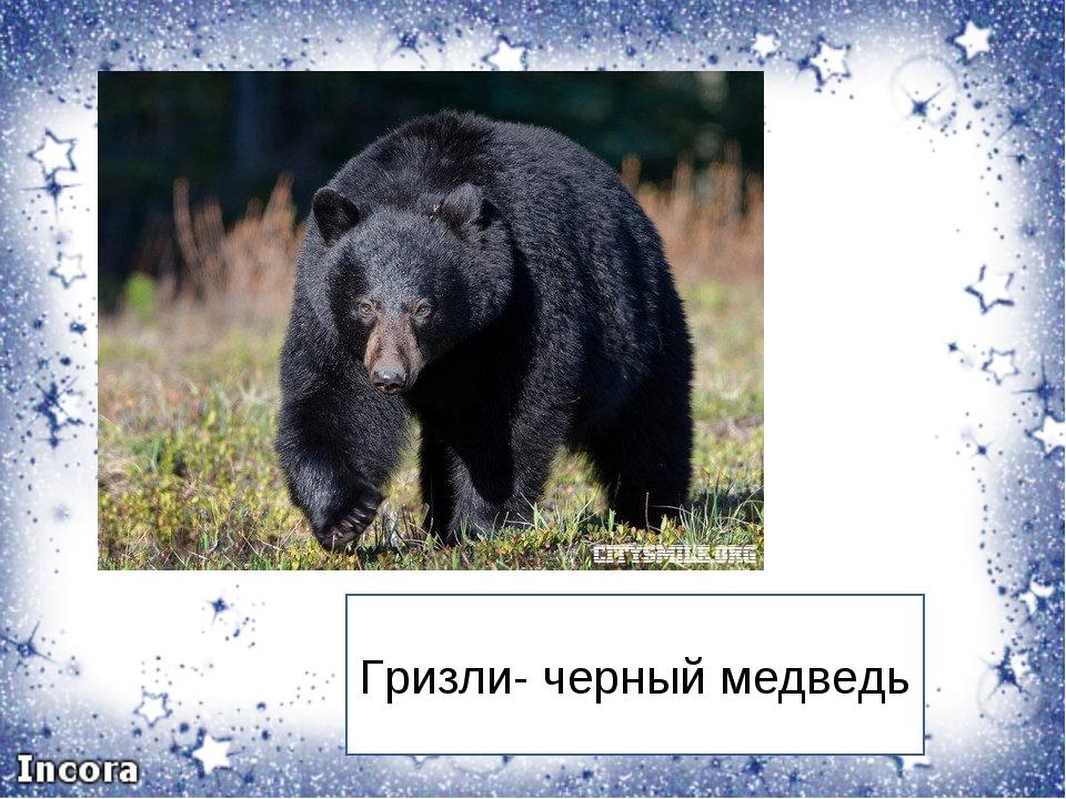 Гризли- черный медведь