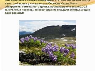 Наиболее выносливые семена имеет арктический люпин. Когда в мерзлой почве у к