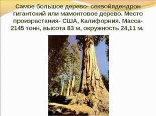 Самое большое дерево- секвойядендрон гигантский или мамонтовое дерево. Место