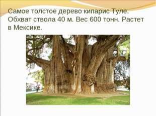Самое толстое дерево кипарис Туле. Обхват ствола 40 м. Вес 600 тонн. Растет в