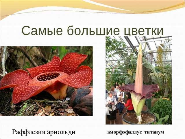 Самые большие цветки Раффлезия арнольди аморфофаллус титанум